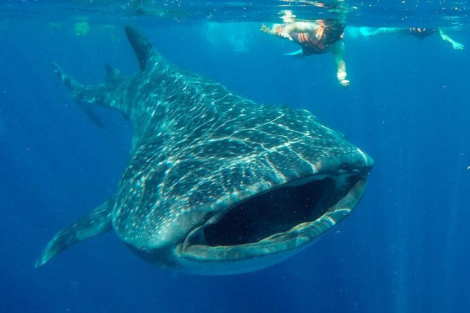 Whale Shark Encounter - Pictures & all fees included