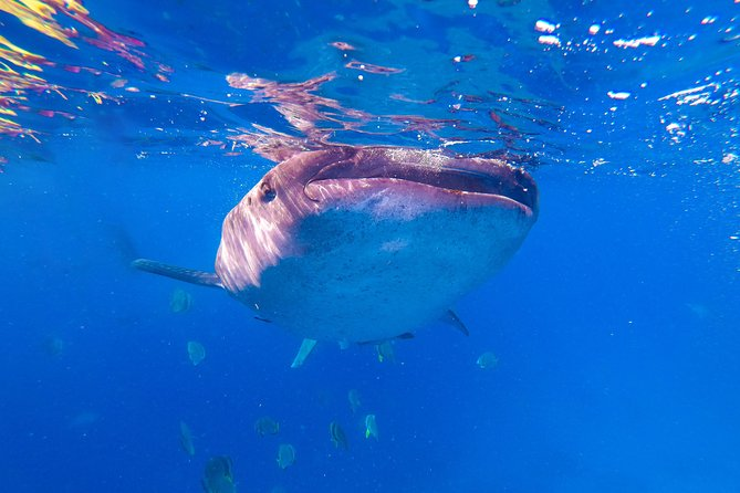 Whale Shark Encounter and Tumalog Falls Tour including Use of GoPro photo 4