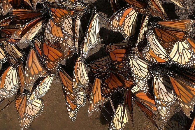 Monarch Butterfly Private Tour (Morelia)