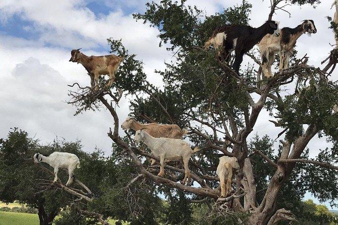 Goats on the Argan Trees