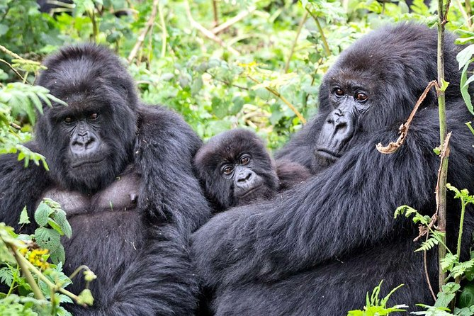 3 Days Bwindi Impenetrable Forest Park Gorilla Experience photo 1