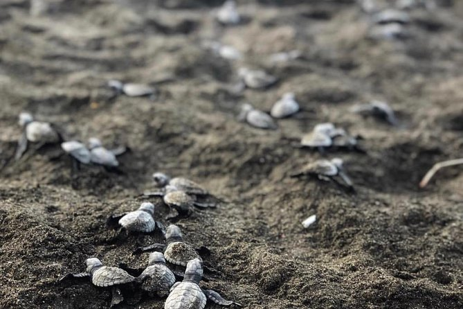 Turtle Nesting At Famous Playa Ostional