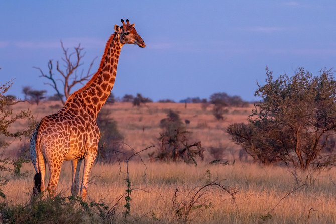 Giraffe in excellent afternoon light