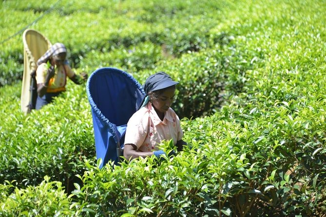 Vergin White Tea Plantation from Colombo Hotels/Cruise Ship(Budget Car with A/C)