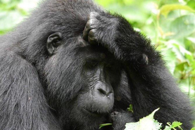 Gorilla trekking safari Bwindi impenetrable forest Uganda