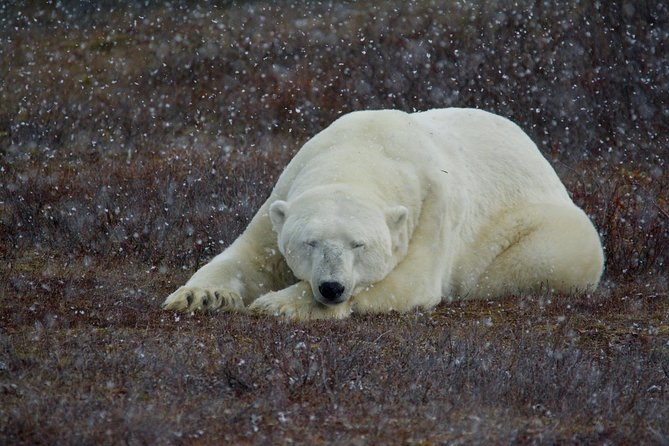 5 Night Churchill Tour and Polar Bear Adventure from Winnipeg