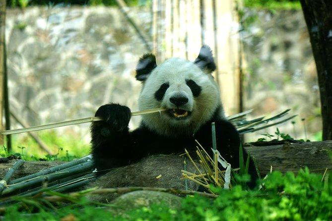 1-Day Private Panda Keeper Volunteer Experience in Dujiangyan Panda Base