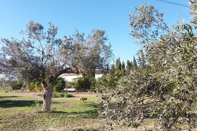 Olivas Querencia Extra Virgin Olive Oil, olive tree adoptions & grove visits. photo 3