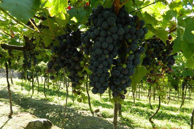 tour du vin na vitivinicola jolimont e degustação de queijos e salames