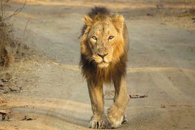 Lion Safari & Panoramic Tour of Gujarat photo 1