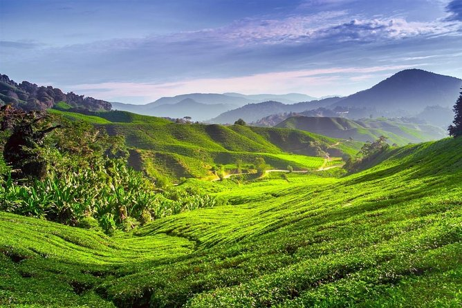 Full-day Cameron Highlands Tour