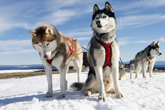 Private Tour: In harness with Husky