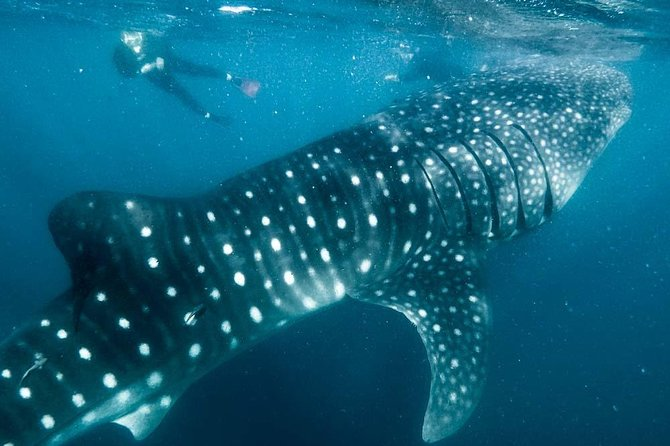 Whale sharks and Espiritu Santo Island private snorkel photo 6