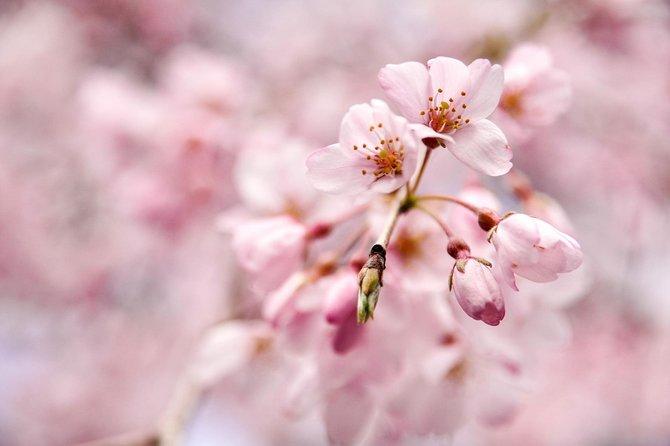 1-Day Tour: Tokyo's Best Cherry Blossom Spots