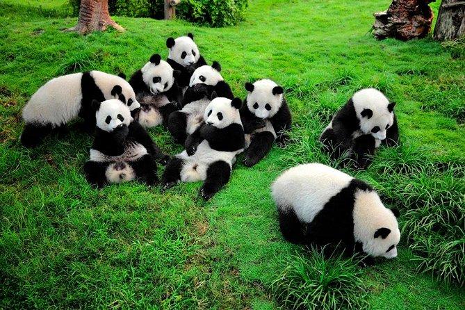 1 day Giant Panda & Leshan Buddha Mini Group tour