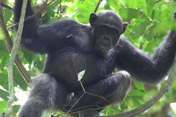 Chimpanzee habituation – 4 days.