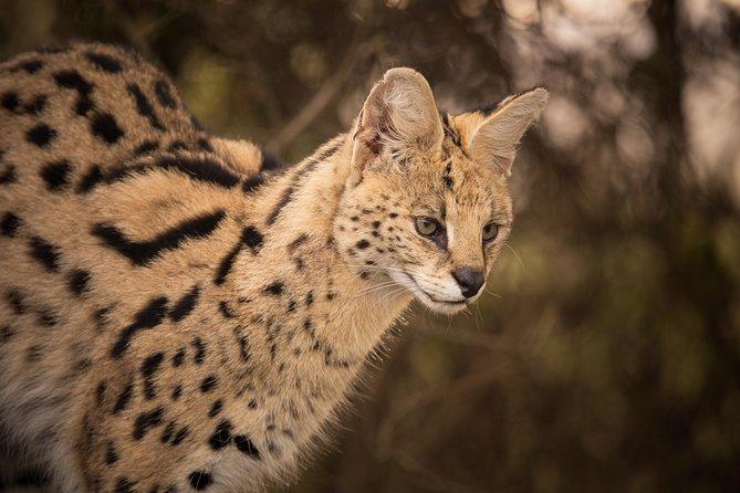 Serval at Tenikwa