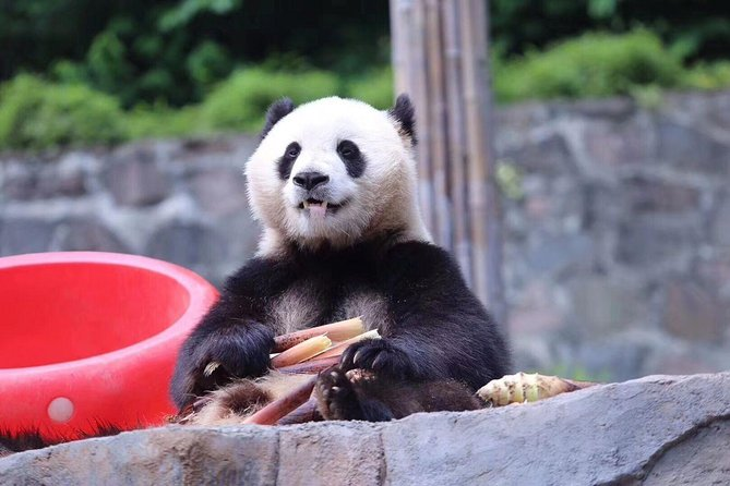 One Day Trip to Chengdu Panda Base & Hanglongxi Ancient Town
