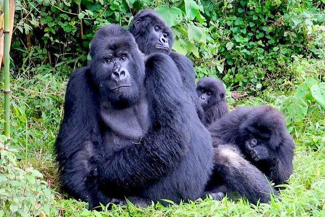 3 Days Gorilla and Golden Monkey Trek