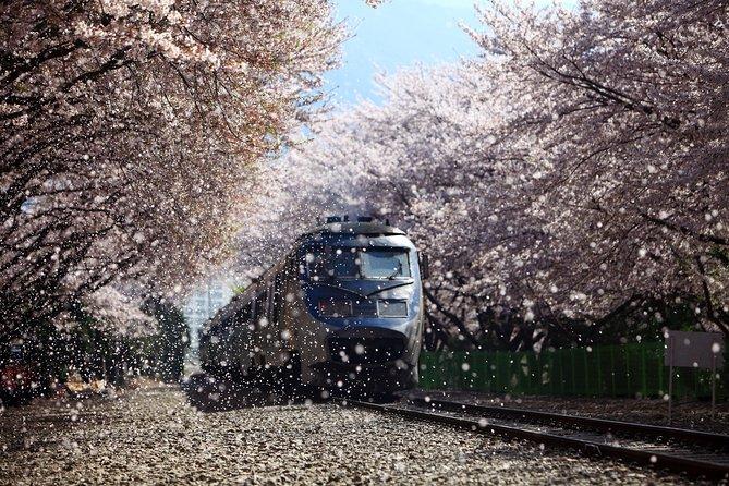 Jinhae Cherry Blossom Festival from Busan
