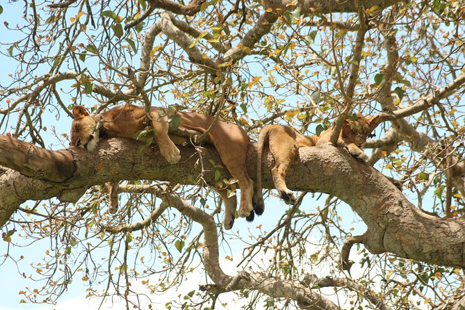 Tree climbing lions at Ishasha sector