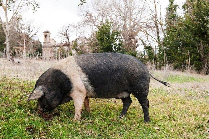 Farm Tour: the Cinta Senese Tuscan pig
