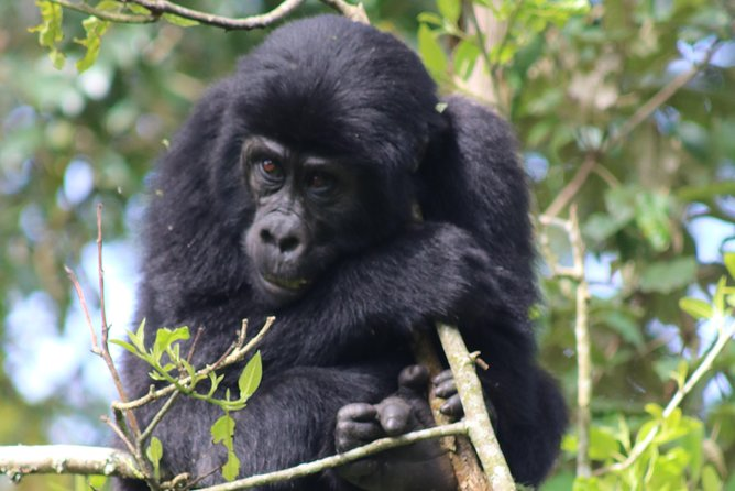 6 Day Gorillas, Golden Monkeys and Chimp Trek at Kibale National Park
