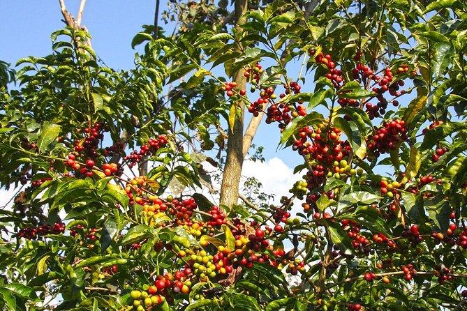 Ethiopian Coffee 7 Days Tour
