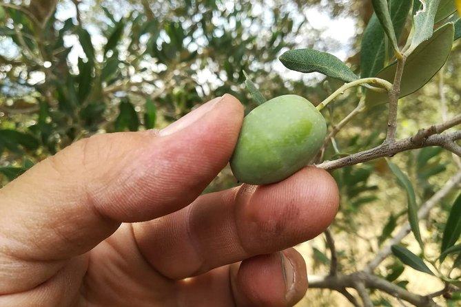 Autumn - The green gold of Valdichiana Senese: olives harvest and mill
