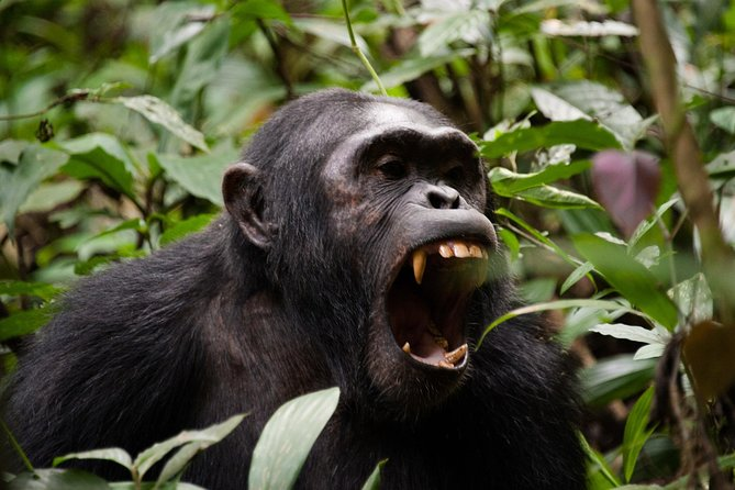 Kibale Chimpanzee Trekking and Guided Nature Walk in Bigodi 3 Day Safari