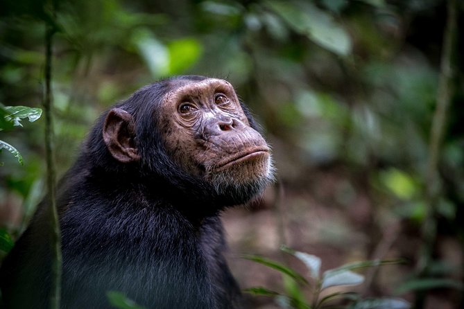 6 day gorilla & Chimpanzee tracking in Uganda