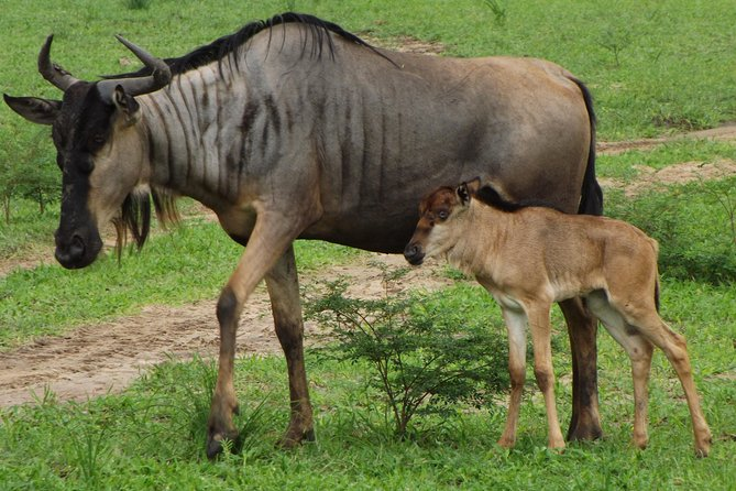 7- Days Great Wildebeest Calving Migration Safari
