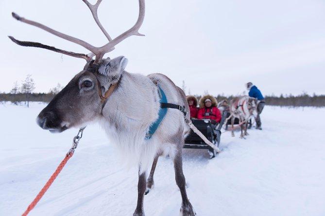 Visit an Authentic Reindeer Farm with Reindeer Safari