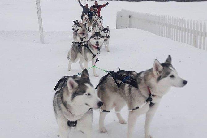 Husky Dog Sledding in Akureyri