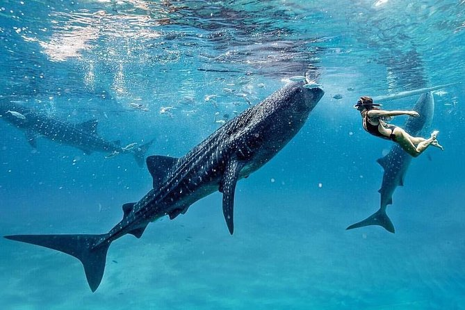 Private Vehicle to Bohol Whale-shark Encounter