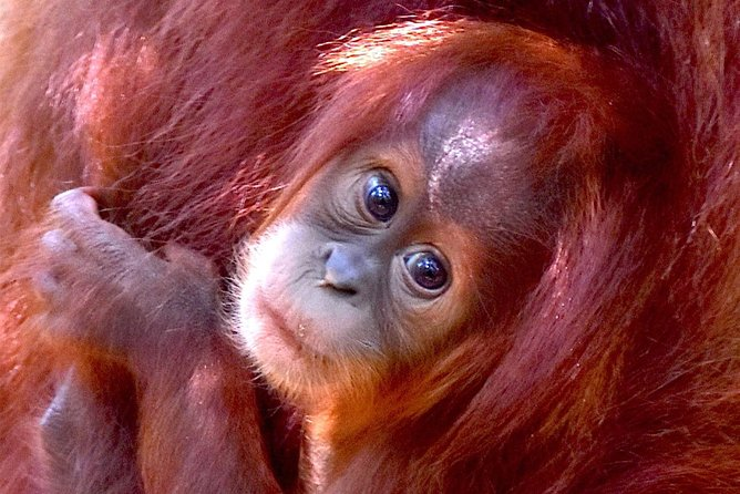 FAMILY JUNGLE TOUR: Orangutan Trek (4-hours hike) by EcoTravel Bukit Lawang