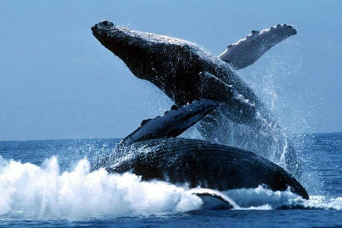Bacardi Whales Whatching Experience-Day Trip