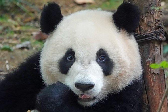 Chengdu Private Full Day Panda Breeding Center and Sanxingdui Museum Tour