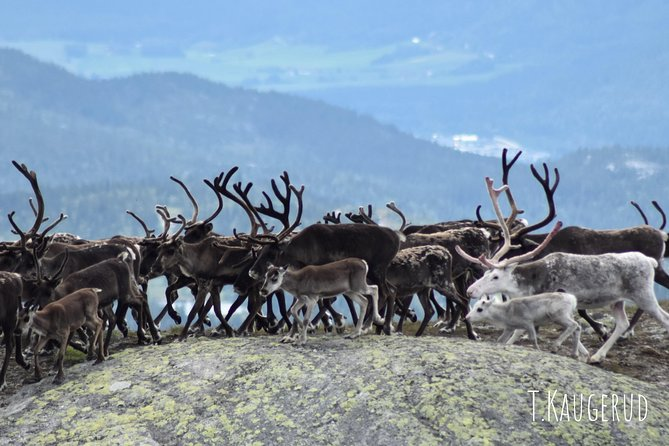 Wild reindeer safari at Norefjell photo 1