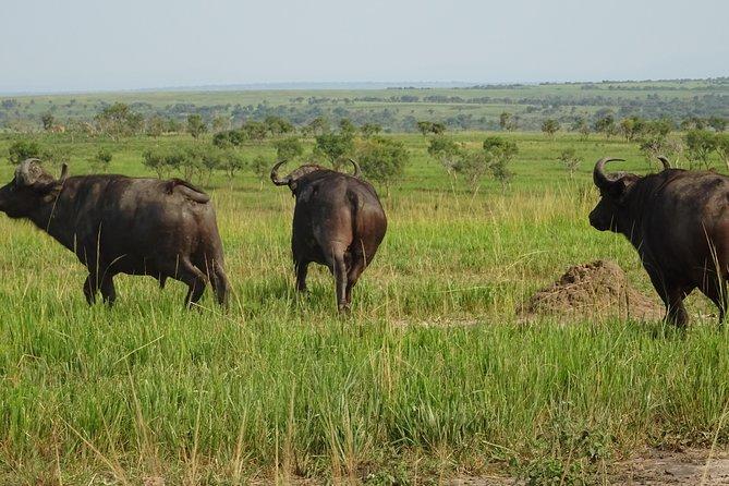 5 Days gorillas and Lion Tour in Uganda