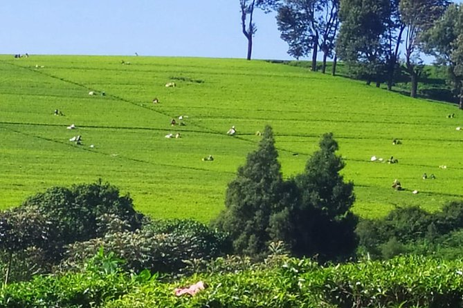 Tea Farm Tour: Kiambethu Tea