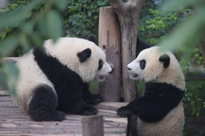 Private day tour Chengdu Giant Panda Breeding Center & Ancient Town visiting