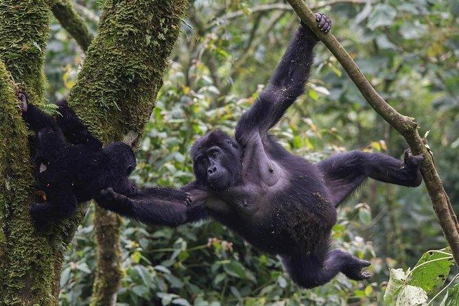 3 Day Gorilla Trekking Safari in Uganda - Budget Safari