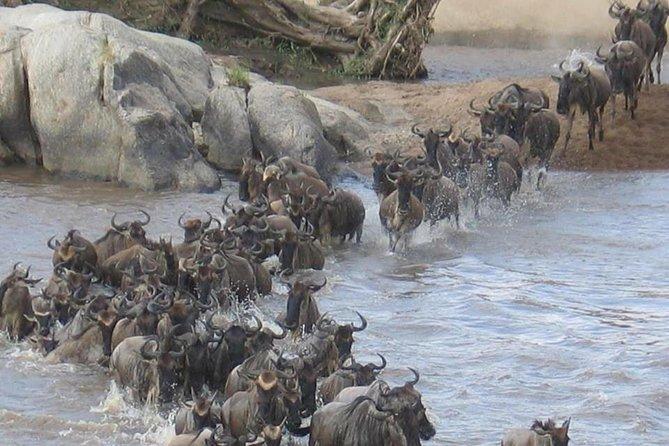 Annual Migration of Wildebeest During Calving Serengeti and Ngorongoro