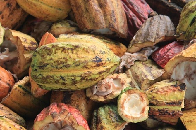 Cacao Road Excursion : plantations, processes, tasting and scenery