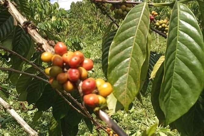 Coffee Road Excursion : plantation, processes, tasting and scenery photo 7