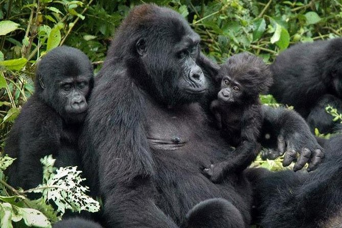 7Day Gorilla safari