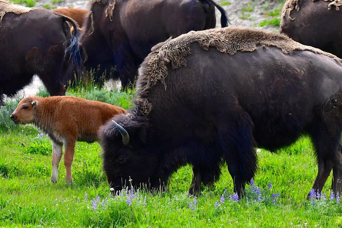 PRIVATE TOUR: The Best of Yellowstone National Park. Picnic lunch included! photo 31