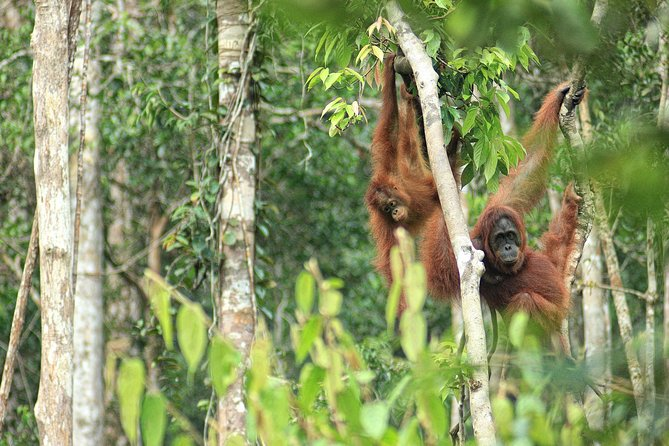 4-Day Private Orangutan and Bornean Primates Tour from Pangkalanbuun photo 9