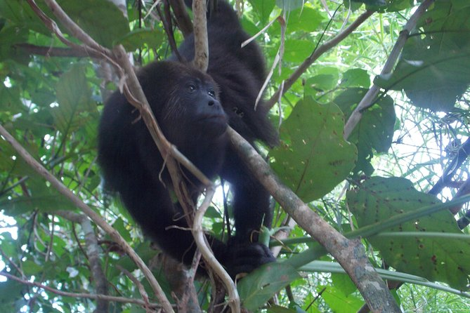 Howler Monkey Sanctuary Shore Excursion from Belize City photo 10